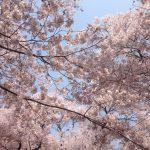 よみうりランドの桜の見頃はいつ?ライトアップやゴンドラなど見どころ満載♪