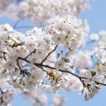 大岡川の桜の見頃はいつ?行き方は?駐車場ってあるの?