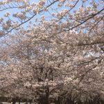 平塚市総合公園の桜の開花状況!レストランやお弁当で花見を楽しも♪