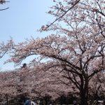 こども自然公園の桜は?開花状況やベビーカー・駐車場についてご案内!