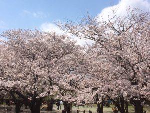 平塚市総合公園の開花状況