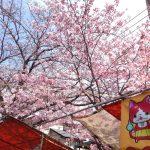 弘明寺の桜の開花状況は?実際に行ったレポート♪商店街の賑わいもスゴイ!