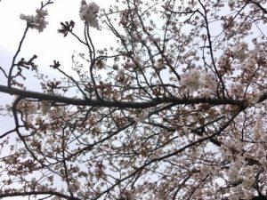 戸塚柏尾川の桜開花状況2019年