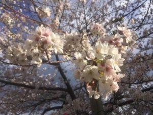 2019年戸塚の桜開花状況